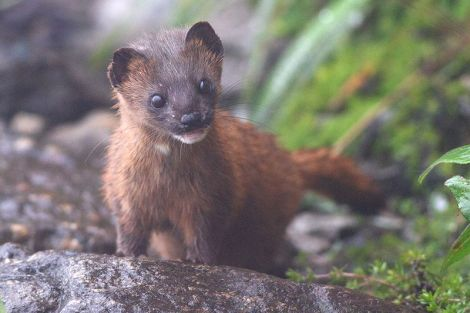 Siberian_Weasel_Pangolakha_Wildlife_Sanctuary_East_Sikkim_India_14.05.2016